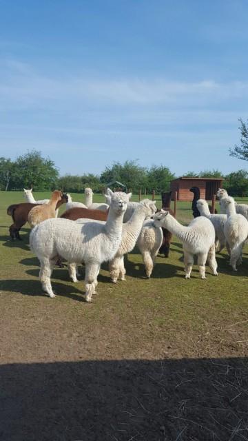 A Growing Herd