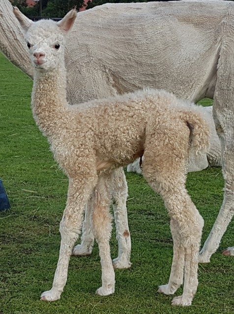New Arrivals at Churchfield Alpacas